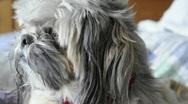 Dog Close Up Shitzu 01 Stock Footage