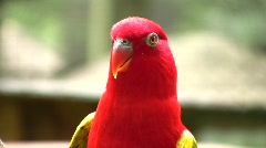 Colorful RED TROPICAL PARROT in Nature Macaws Wildlife Birds Stock Footage