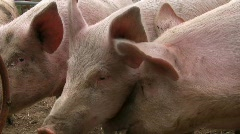 Happy pigs grunting for food Stock Footage