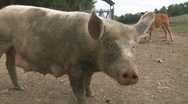 Happy pig waiting for food Stock Footage