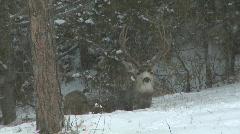 P00842 Mule Deer Buck Bedding in Snowstorm Stock Footage