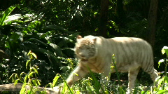 White Tiger Stock Footage