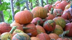 Organic Squash Pumpkins in Farmers Market Stack Pile Orange Harvest Ripe Stock Footage