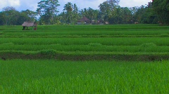 Flooded Rice Paddy Field Bali Indonesia Terraced Farming Traditional Agriculture - stock footage