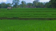 Stock Video Footage of Rice Paddy, Bali