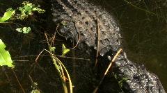 Seven Foot Long Alligator Sunbathing Stock Footage