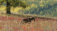 Horse in autumn colorful meadow Stock Footage