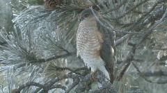 P00859 Sharp-shinned Hawk in Winter Stock Footage