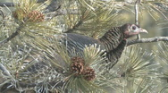 P00860 Wild Turkey in Pine Tree Stock Footage