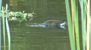 Duck In The Water By Grass Stock Footage