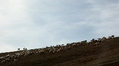 Sheeps of the Judean Desert Stock Footage