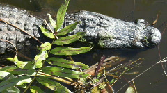 Seven Foot Long Alligator And Leafy Plants Stock Footage