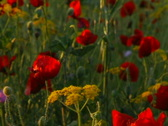 Poppies In The Sunset Stock Footage