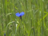 Wild blue flower with a bee Stock Footage