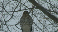 Stock Video Footage of Bird of Prey 02