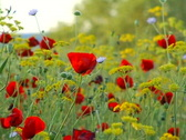 Poppies in the wind Stock Footage