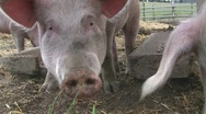 Stock Video Footage of Happy pigs grunting and waiting for food