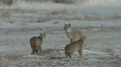 P00866 Bobcat Family on Prairie Dog Town Stock Footage