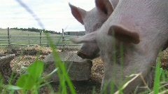 Happy pigs grunting Stock Footage