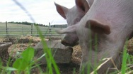 Stock Video Footage of Happy pigs grunting