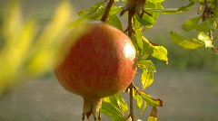 Pomegranate 3 Stock Footage