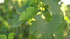 Vineyard pan leaf Stock Footage