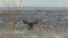 P00873 Mule Deer Buck Head Looking at Scenery Stock Footage