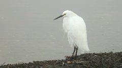 Grooming snowy egret Stock Footage