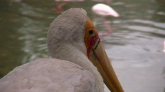 Yellow-billed Stork Stock Footage