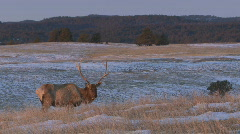 P00876 Elk with Chronic Wasting Disease Stock Footage