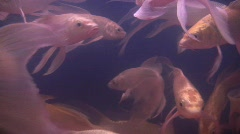 Large goldfish carp koi swim in tank bowl aquarium fish feeding Stock Footage