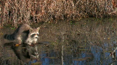 Raccoon in Okefenokee swamp Stock Footage