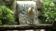 Tropical Asian Egret Preening Nature Waterfall Pool Lagoon Bird White  Stock Footage