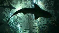 Silhouette of Sharks Swimming Overhead - Danger Stock Footage