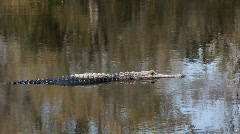 Alligator swims in the Okefenokee swamp inwinter morning  Stock Footage
