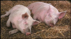 Happy pigs sleeping and yawning in straw Stock Footage