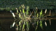 Plants In A Pond Stock Footage
