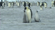 Stock Video Footage of Emperor penguin chick asking for food
