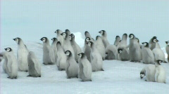 Emperor penguin chicks Stock Footage