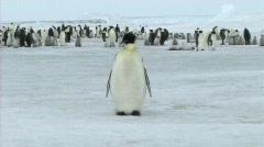 Emperor penguin preening Stock Footage