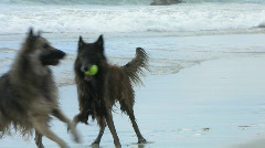Belgian Shepherd dogs 13 Stock Footage
