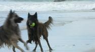 Stock Video Footage of Belgian Shepherd dogs 13