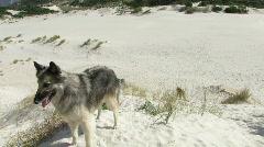 Belgian Shepherd dogs 11 Stock Footage