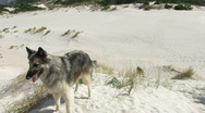 Stock Video Footage of Belgian Shepherd dogs 11