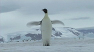 Emperor penguin flapping flippers Stock Footage