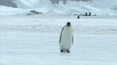 Lone emperor penguin walking Stock Footage