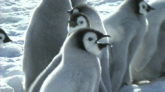 Emperor penguin chick - stock footage