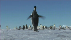 Stock Video Footage of Emperor penguin
