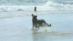 Belgian Shepherd dogs 4 Stock Footage