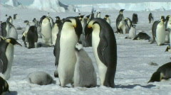 Stock Video Footage of Emperor penguin family